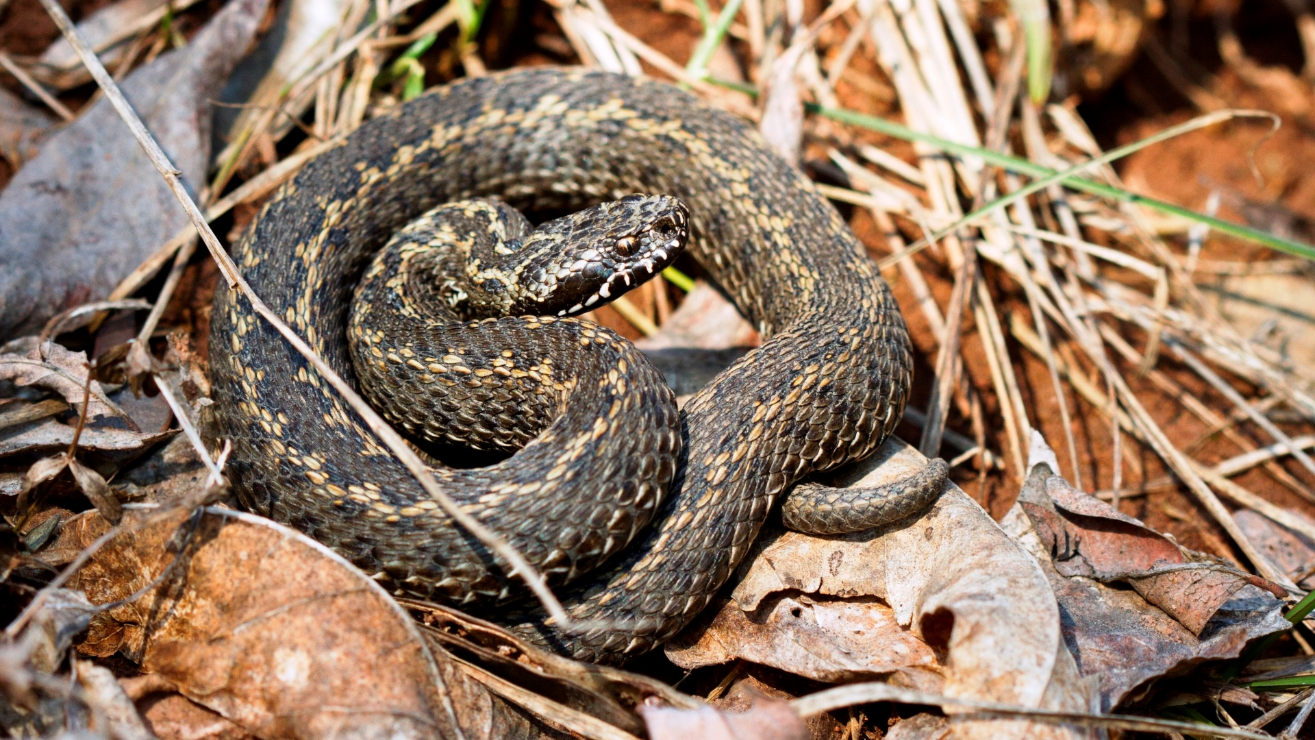 en slange som har spist et menesker